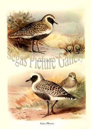 Golden Plover & Grey Plover